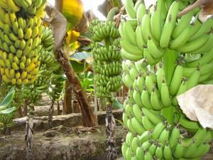 Банан: полезные свойства