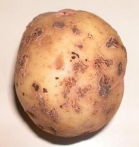 Как выбрать картофель: парша