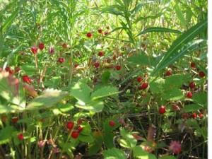 Лекарственные травы при диабете