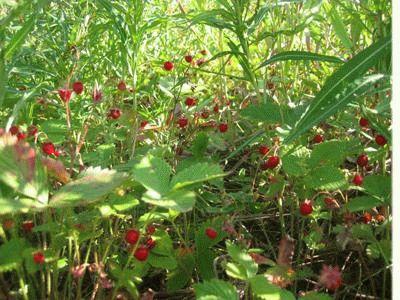 травы от диабета второго типа