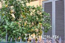 как вырасить лимон дома