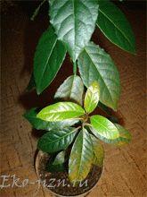 как вырастить лавровый лист в домашних условиях