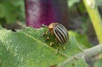 Борьба с колорадским жуком: «биологическое оружие»