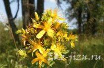 Практическое применение травы зверобоя в народной медицине