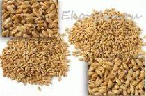 Ростки пшеницы: польза и вред
