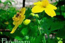 Применение травы, настоя и сока чистотела в народной медицине