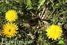 Листья одуванчика: полезные свойства и противопоказания