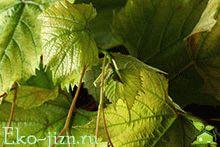 Заготовка виноградных листьев для долмы на зиму