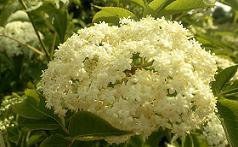 Бузина черная лечебные свойства ягод и цветов. Противопоказания