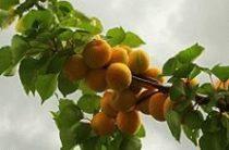 Все о пользе и вреде абрикосов