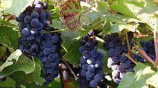 Как можно заморозить виноград на зиму 4 способа заморозки + правильное размораживание
