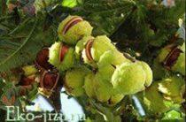 Лечебные свойства и противопоказания в применении конского каштана