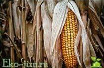 Польза и вред кукурузы: вареная, консервированная