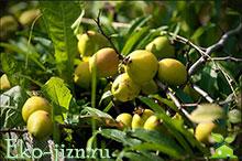 Айва японская. Рецепты приготовления плодов на зиму