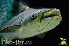 Ryba pangasius pol'za i vred