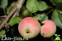 Яблоки разного цвета полезны по-разному