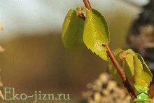 Березовые листья: уникальные лечебные свойства