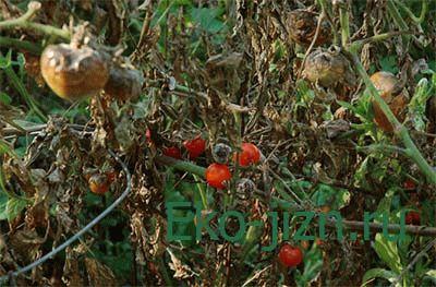 kak_izbavitsa_ot_fitoftory_na_pomidorah