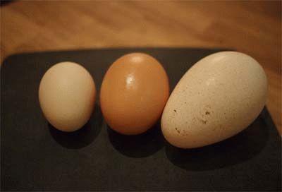 Куриное, утиное и индюшиное яйца