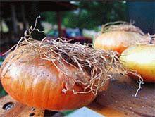 Чем полезен лук: содержание витаминов и минералов